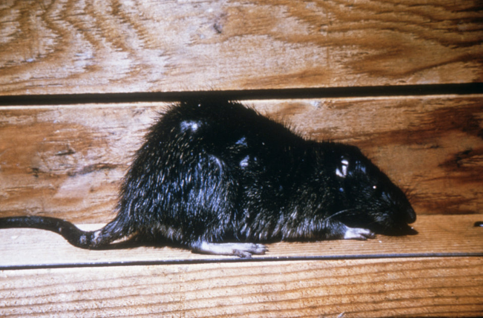Norway Rats: Information, Photos and Facts