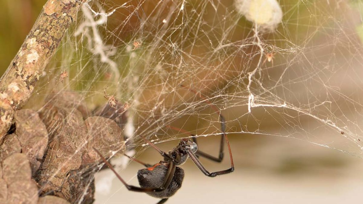 10 Ways To Get Rid And Kill Black Widow Spiders Pestguide Org