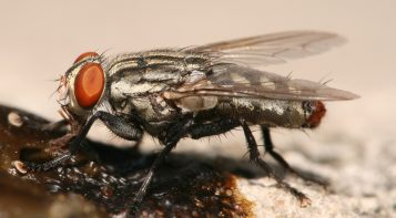 flesh fly facts