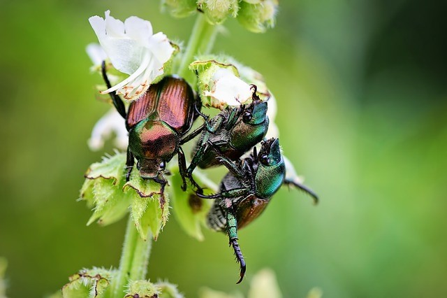 June Bugs: Information, Pictures, and Facts