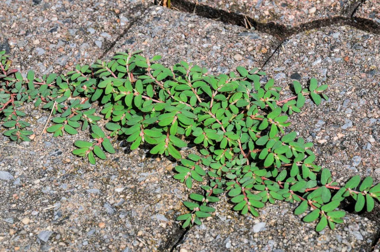 Spurge: Identification, Pictures, and facts